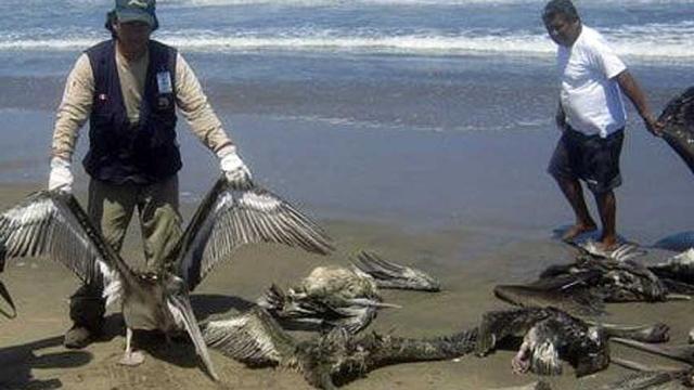 hi-peru-pelicans-852.jpg