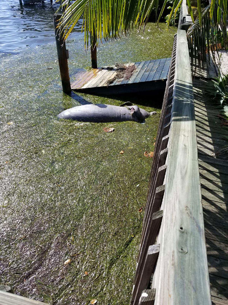 red-tide-wildlife-manatee-titsworth2.jpg